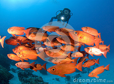SCUBA Diver a shool of bright red fish