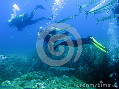 Scuba divers and barracudas