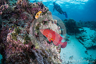Scuba diving with red grouper