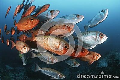 Scuola dell Oceano Indiano del Mozambico dei priacanti della mezzaluna-coda (hamrur del Priacanthus)