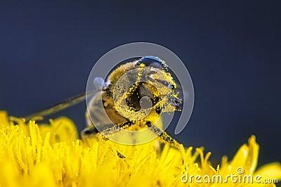Se limpia el polen de la abeja