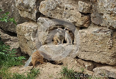 Se marmots en sida till två