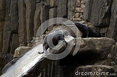 Sea lion, friendly animals at the Prague Zoo.