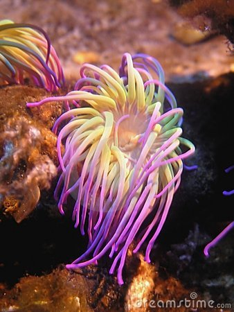 Free Sea Anemone Royalty Free Stock Images - 96249