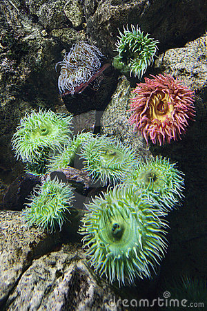 Sea anemone in aquarium in Spain.