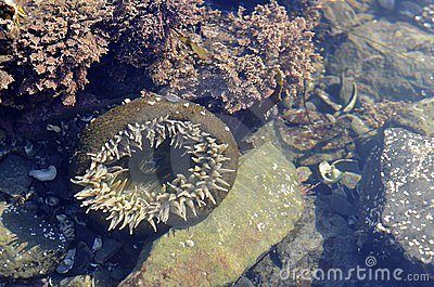 Sea Anemone, Olympic Peninsula Beach