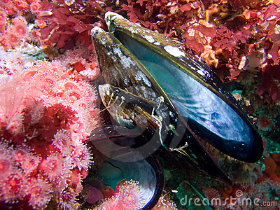 Sea Anemones and mussel shell