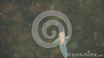 Sea angel mollusk stock video footage