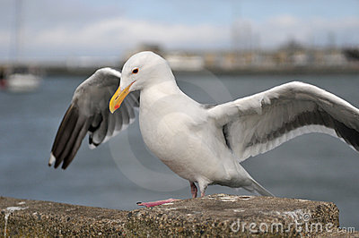 Sea bird seagull