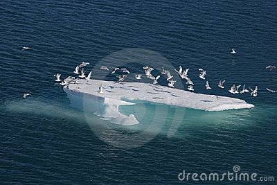 Sea birds on ice floe