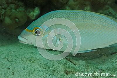Sea bream - Andaman Sea
