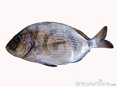 Sea bream fish Stock Photo