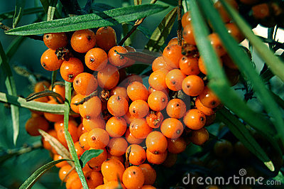 Sea-buckthorn fruits, Hippophae rhamnoides