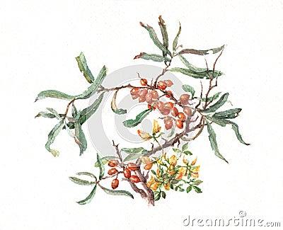 Sea-buckthorn watercolor painting