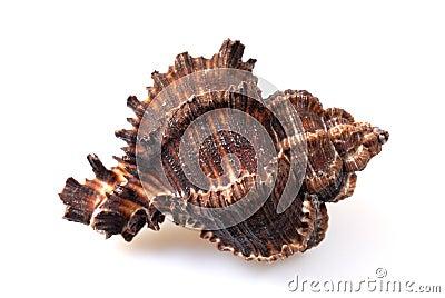 Sea conch on white