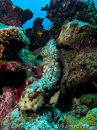 Free Sea Cucumber Royalty Free Stock Photo - 15470835