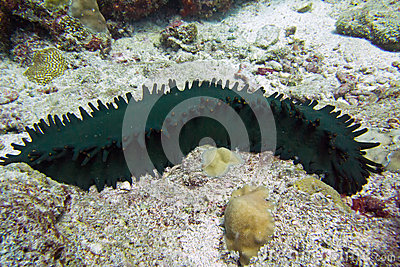 Sea cucumber with papillae