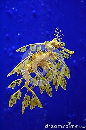 Free Sea Dragon Stock Photography - 3403172