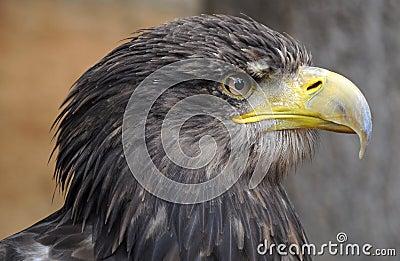 Sea Eagle (Haliaeetus albicilla)