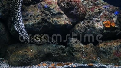 Sea eels in fish tank, Aquarium decoration. Moray Eel in fish tank.  stock video footage