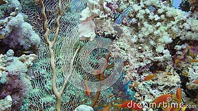 Sea fan Annella sp. feeding underwater in Red Sea. Egypt stock video footage