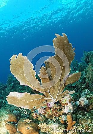 Sea fan in blue sea