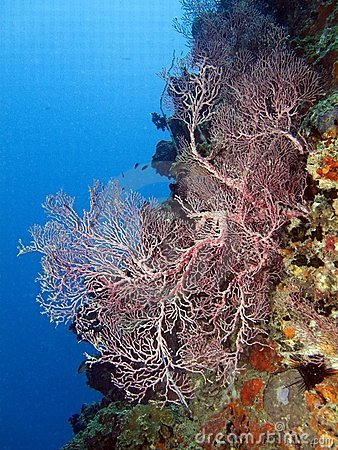 Sea Fan Coral - Echinigorgia sp.
