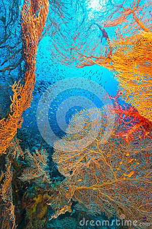 Free Sea Fans And Glassfish In The Red Sea. Stock Photos - 41472283