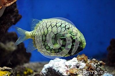 Sea fish pineapple