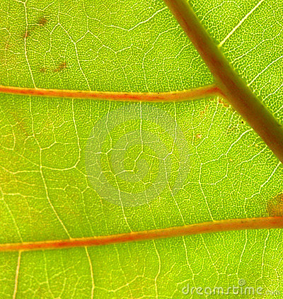 Sea Grape Leaf Closeup