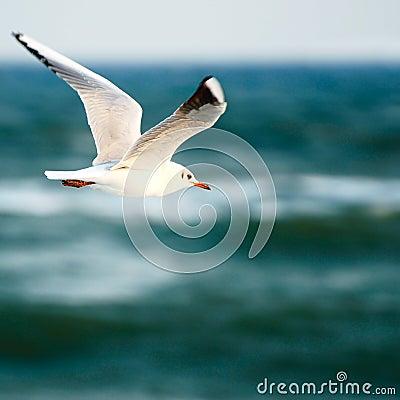 Free Sea Gull Stock Photography - 10904932
