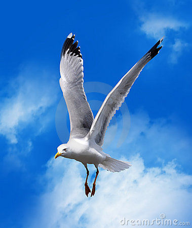 Free Sea Gull Royalty Free Stock Photos - 14984768