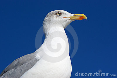 Sea Gull Royalty Free Stock Images - Image: 16813589