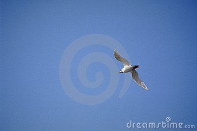 Sea-gull 3