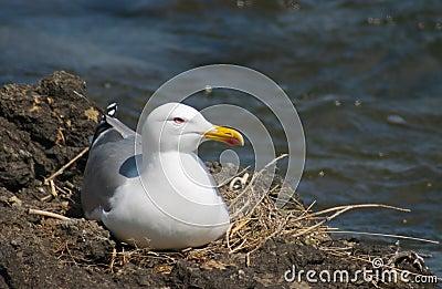 Sea-gull bird in the nest