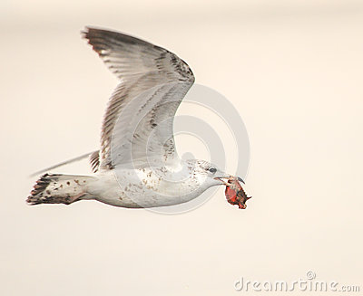 Sea Gull with Crab Catch