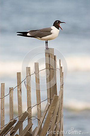 Sea Gull on Fence with Open Mouth