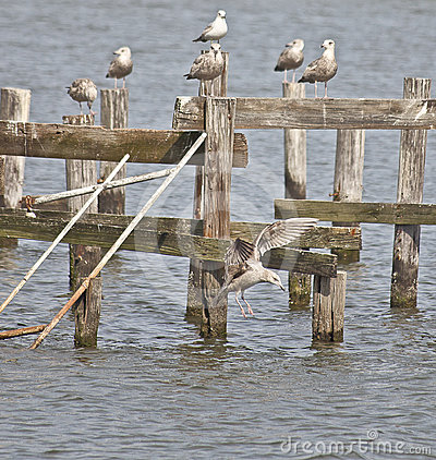 Free Sea Gull Landing In The Tidewater Of Virginia Royalty Free Stock Image - 24346236