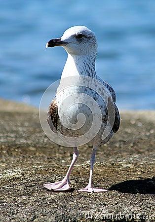 Free Sea Gull - Larus Argentatus Stock Image - 5117231