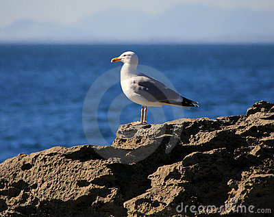 Sea gull on the rock