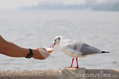 Sea gull standing beside sea coast and hand of man