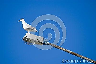Sea gull on a street lamp