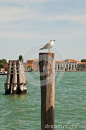 Sea gull in Venice
