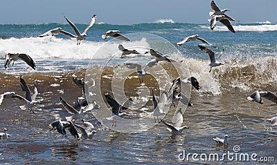 Living Seas with Gulls