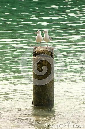 Free Sea Gulls Rest On A Tree Stump, New Caledonia Stock Photography - 27162812