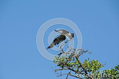 Sea Hawk Takes Flight