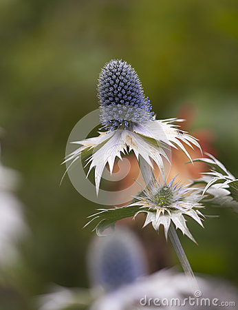 Sea Holly Macro