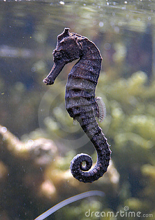 Free Sea Horse Stock Images - 521084