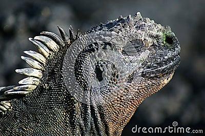 Sea-Iguana, Galapagos