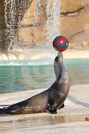 Free Sea Lion Royalty Free Stock Photography - 31345777